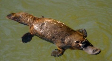 Scientia-platypus-swimming